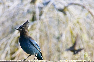 Lucille Ball - Stellers Jay at Full Alert by Sean Griffin