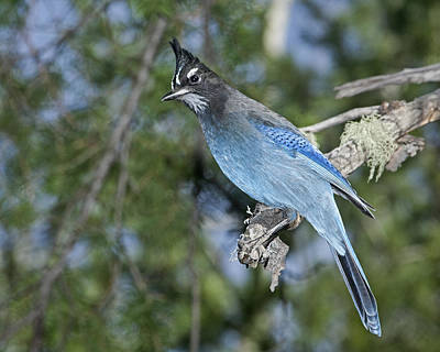 Photograph - Stellers Jay by Gregory Scott