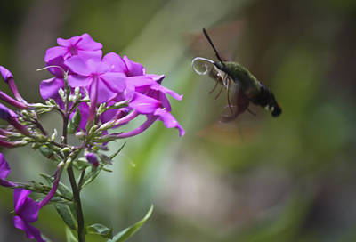 Phlox Paniculata Photograph - Stick Out Your Tongue by Teresa Mucha