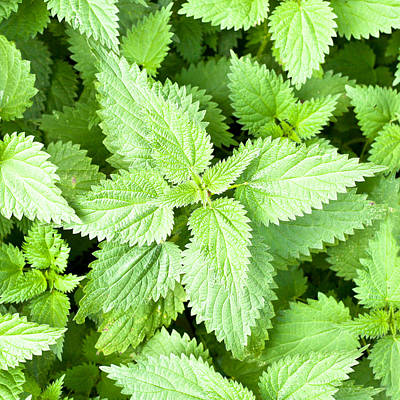 Stinging Nettles Art Print by Tom Gowanlock