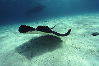 Stingray, Cayman Islands, West Indies Art Print by Joe Stancampiano