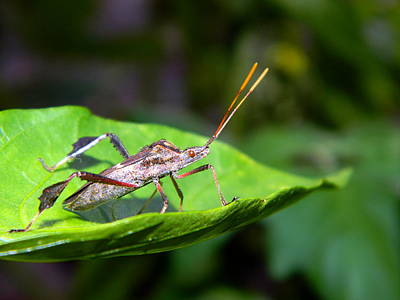Outdoor Photograph - Stink Bug by Ester  Rogers