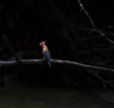 Photograph - Stockbill Kingfisher Feeding by Chua  ChinLeng