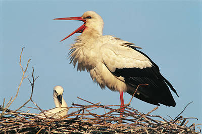 Stork Vocalizing In Nest With Young Print by Norbert Rosing
