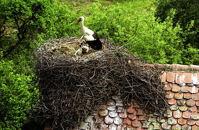 Photograph - Stork With Chicks In The Nest by Emanuel Tanjala