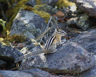 Photograph - Straight Tailed Chipmunk On A Rock by Ben Upham III