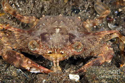 Angels And Cherubs - Strange Looking Crab, Papua New Guinea by Terry Moore