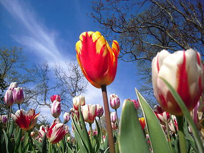 Strato Cirrus Clouds Greet The Tulips  Art Print by Don Struke
