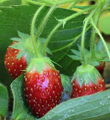 Photograph - Strawberries by Kume Bryant