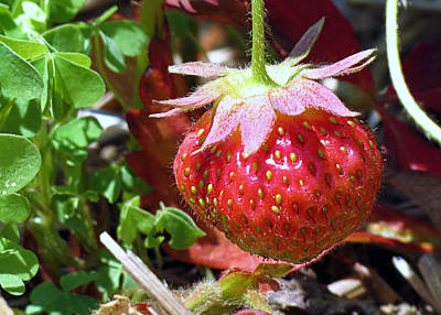 Photograph - Strawberry Patch by Janice Drew