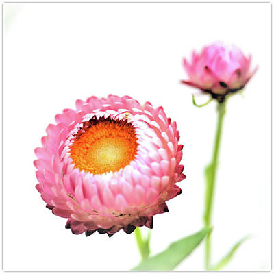 Strawflower Photograph - Strawflower by I love Photo and Apple.