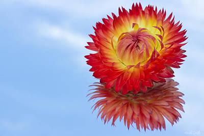Strawflower Reflection Art Print by Heidi Smith