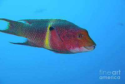 Streamer Hogfish Or Mexican Hogfish Art Print by Sami Sarkis