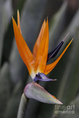 Photograph - Strelitzia Hat by Stephen Mitchell