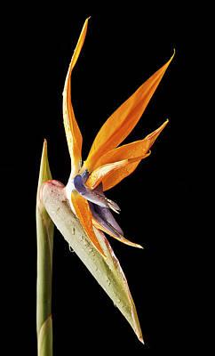 Photograph - Strelitzia by Fiona Messenger