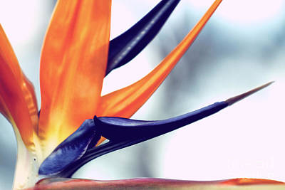 Photograph - Strelitzia by Stephen Mitchell