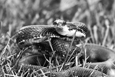 Brown Snake Photograph - Strike by Betsy Knapp