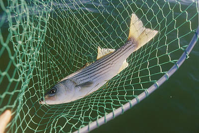 Striped Bass In Net.  The Fish Art Print by Skip Brown