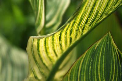 Photograph - Striped Leaf 2 by Douglas Pike