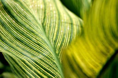 Photograph - Striped Leaf by Douglas Pike