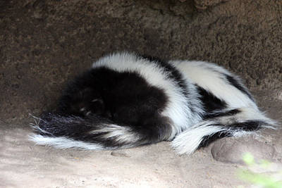 Photograph - Striped Skunk - 0001 by S and S Photo