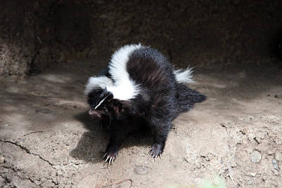 Photograph - Striped Skunk - 0004 by S and S Photo