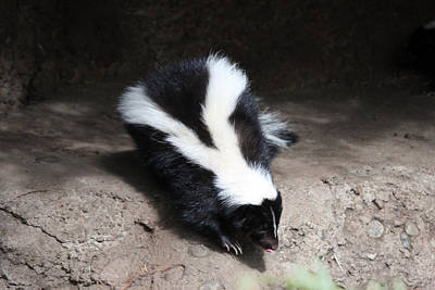 Photograph - Striped Skunk - 0005 by S and S Photo
