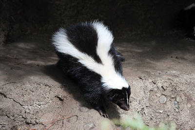 Photograph - Striped Skunk - 0006 by S and S Photo