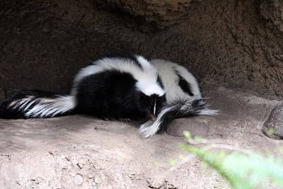Photograph - Striped Skunk - 0007 by S and S Photo