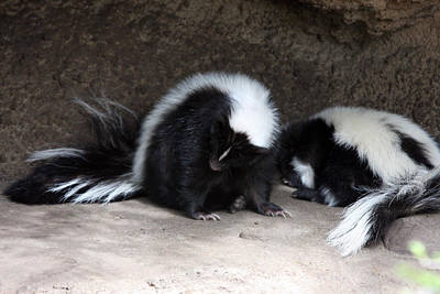 Photograph - Striped Skunk - 0009 by S and S Photo