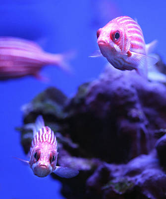 Photograph - Striped Squirrelfish by Marilyn Hunt