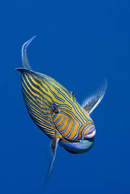 Surgeonfish Photograph - Striped Surgeonfish by Jones/Shimlock-Secret Sea Visions