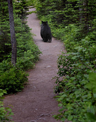 Photograph - Strolling Bear by Don Wolf