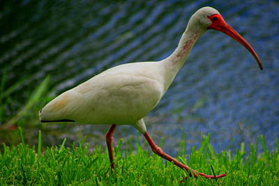 Photograph - Strutting White Ibis by Christopher Kirby