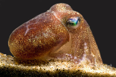 Bobtails Photograph - Stubby Squid by Dante Fenolio