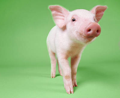 Studio Cut Out Of A Piglet Standing Art Print by Digital Vision.