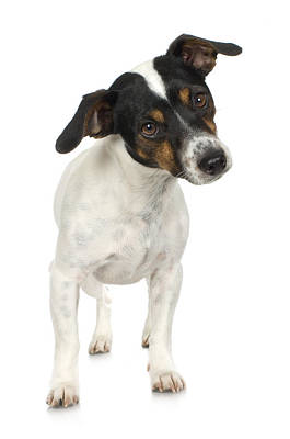 Studio Portrait Of Smooth Fox Terrier Puppy Art Print