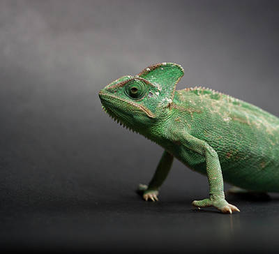 Studio Shot Of Chameleon Print by Sarune Zurba