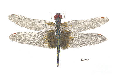 Study Of A Female Black Saddlebags Art Print