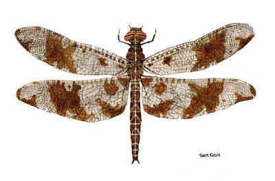 Study Of A Female Filigree Skimmer Art Print