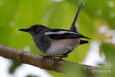 Art Print featuring the photograph Study Of A Magpie-robin by Fotosas Photography