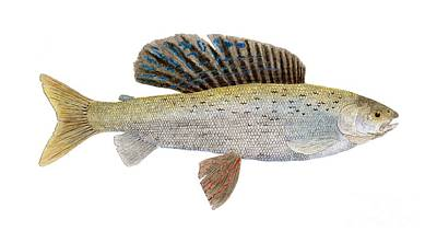 Salmon Painting - Study Of An Arctic Grayling In Montanacoloring by Thom Glace