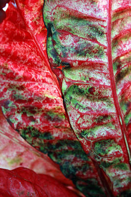 Photograph - Study Of The Croton 1 by Jennifer Bright