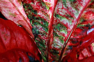 Photograph - Study Of The Croton 2 by Jennifer Bright