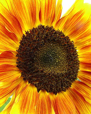 Photograph - Stunning Sunflower by Ramona Johnston