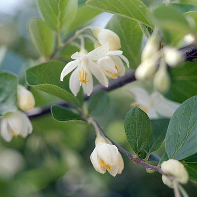 Photograph - Styrax Tree In Flower by Paul Cowan