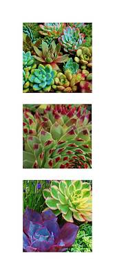 Photograph - Succulent Trio by Kelly Nicodemus-Miller