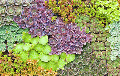 Succulents Growing Vertically On Wall. Art Print by David Madison