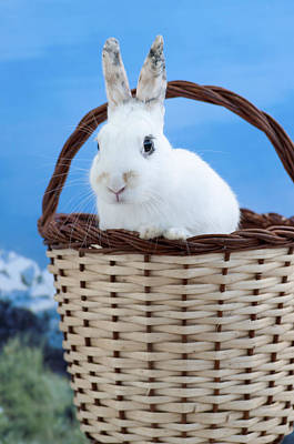 Photograph - sugar the easter bunny 3 - A curious and cute white rabbit in a hand basket  by Pedro Cardona Llambias