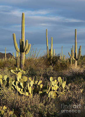 Photograph - Suguaros At Sunset by Sandra Bronstein
